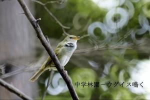 成蹊の野鳥-春-ウグイス