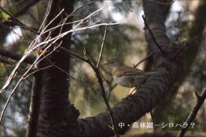 成蹊の野鳥ーシロハラ?