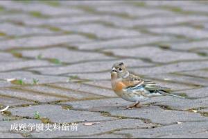 成蹊の野鳥-冬-アトリ