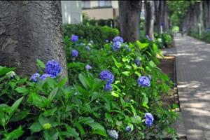 6月の欅並木