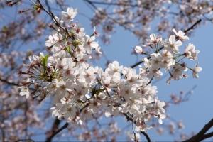 第31回成蹊桜祭2