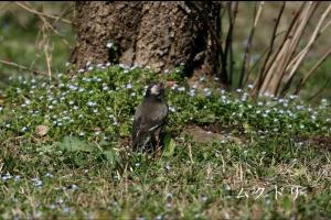 成蹊の野鳥ー春