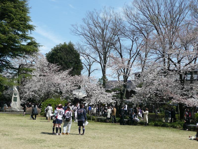 4月3日(金)桜の開花状況