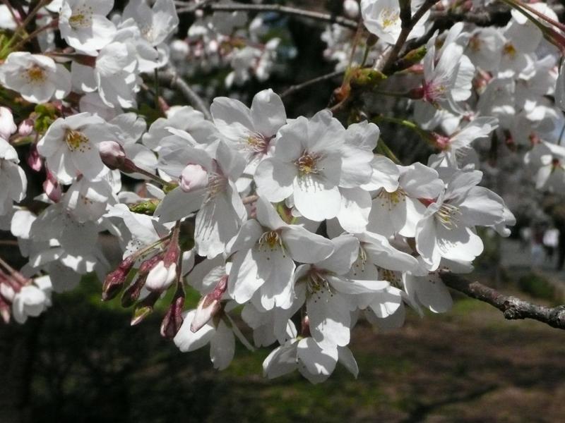3月30日(月)桜の開花状況