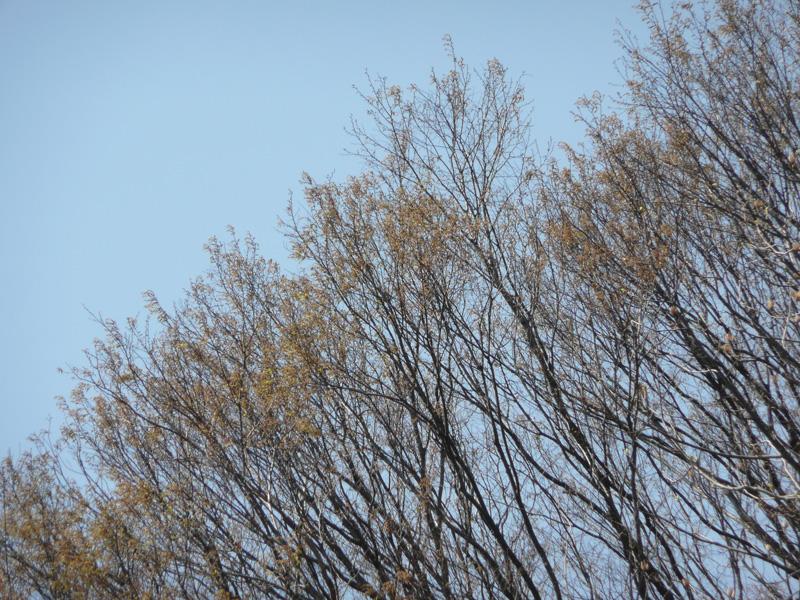 成蹊学園の桜が開花しました。