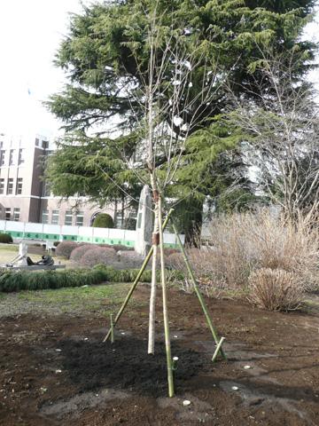 成蹊桜祭委員会がソメイヨシノの苗木を学園に寄贈