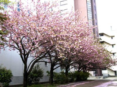 新2号館裏の八重桜