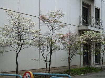 大学9号館前花みずき