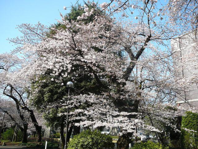 学生会館前ほぼ満開の木