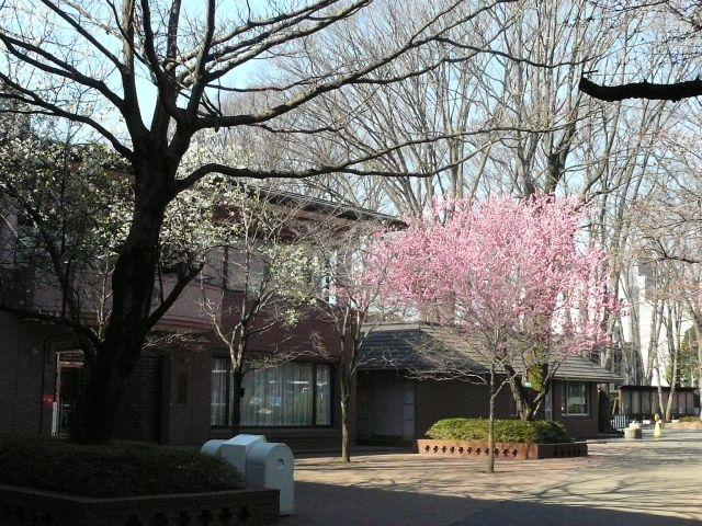 成蹊のもも&桜情報(平成19年3月23日)